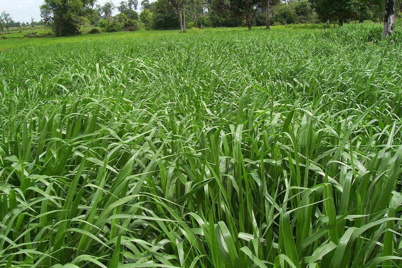 Mulato Ii Ubon Forage Seeds